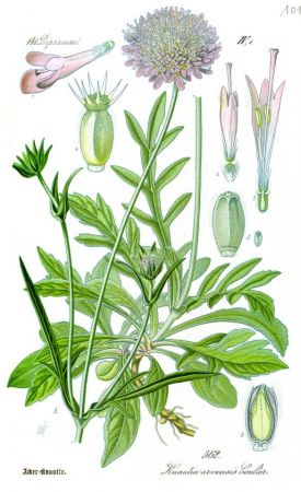 Illustration_Knautia_arvensis0_cleaned.jpg