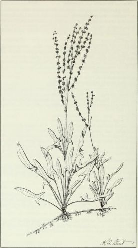Budd's_flora_of_the_Canadian_Prairie_Provinces_(1987)_(20420125725).jpg