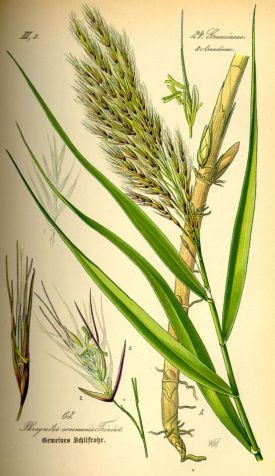 Illustration_Phragmites_australis0.jpg