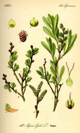Illustration_Myrica_gale0.jpg