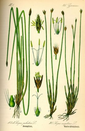 Illustration_Eleocharis_palustris0.jpg